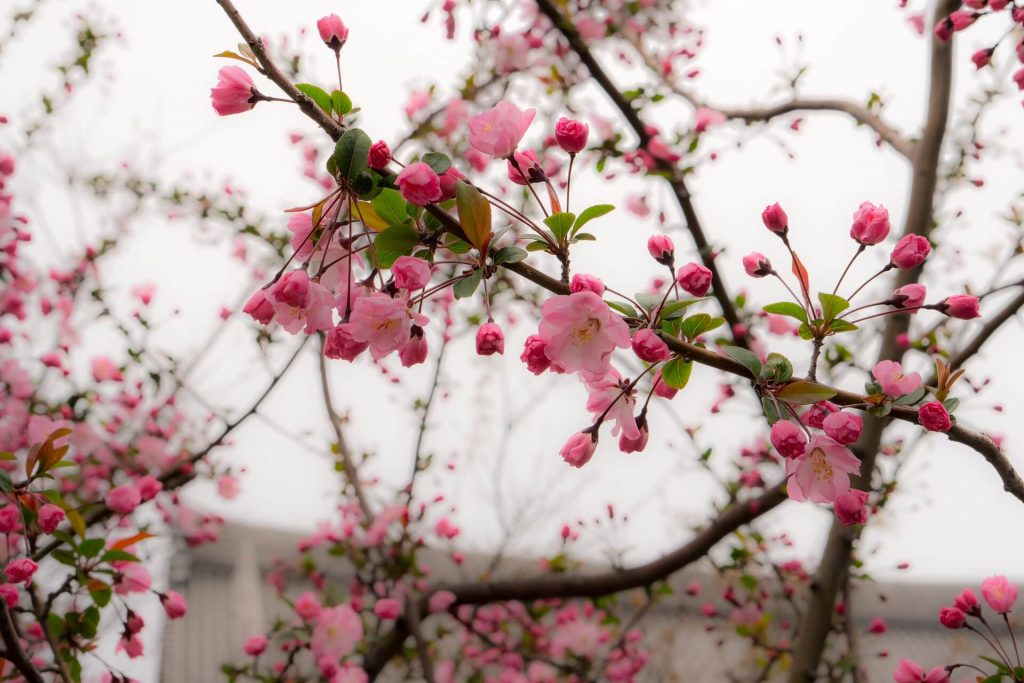 Late-Blooming Cherry Blossoms