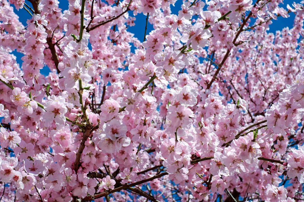 History Behind Cherry Blossoms